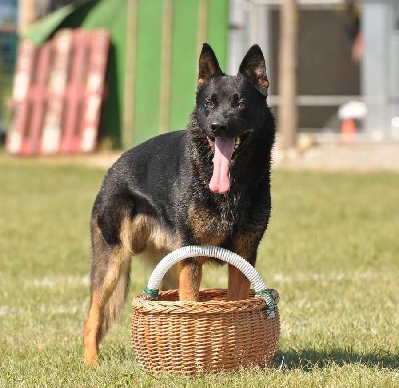 Chien pour aveugle archives page 3 sur 8 chien bonheur - Berger allemand gratuit ...