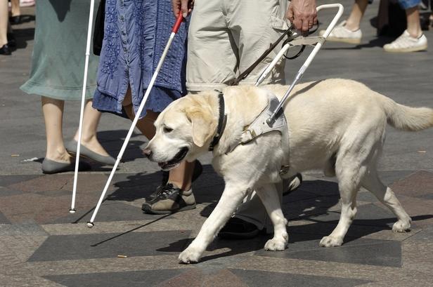 Labrador pour aveugle chien bonheur for Www villaverde fr