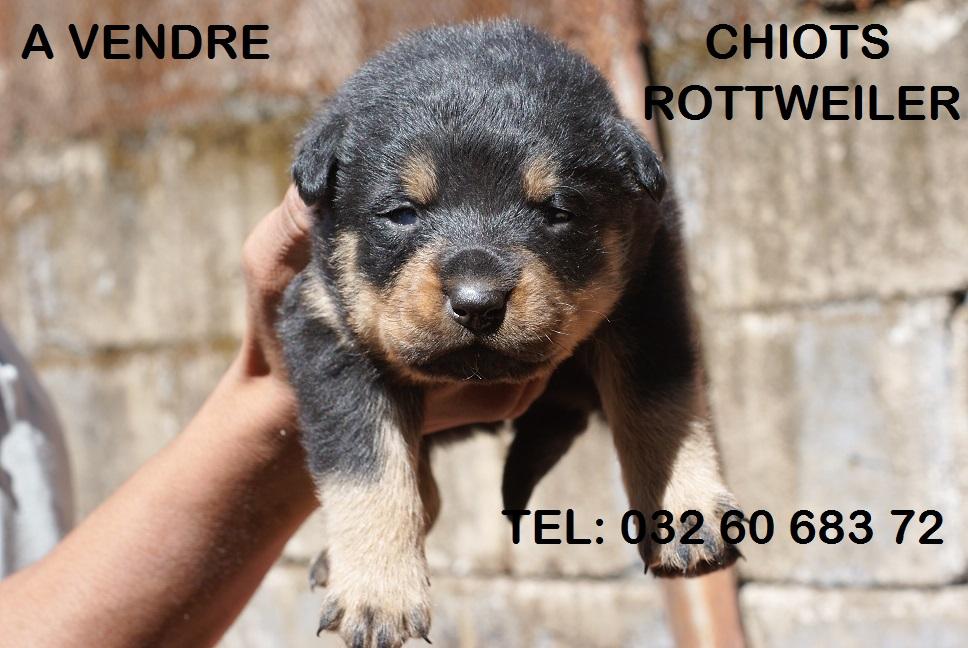 chiot rottweiler a vendre ici chien bonheur. Black Bedroom Furniture Sets. Home Design Ideas