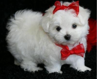 petit chien pas cher a vendre chien bonheur. Black Bedroom Furniture Sets. Home Design Ideas