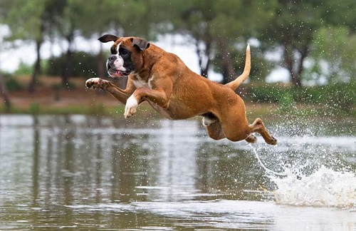 chiot boxer a vendre ici chien bonheur. Black Bedroom Furniture Sets. Home Design Ideas