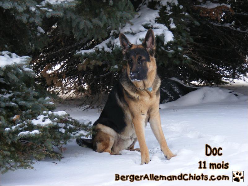 berger allemand a vendre ou a donner ici chien bonheur. Black Bedroom Furniture Sets. Home Design Ideas