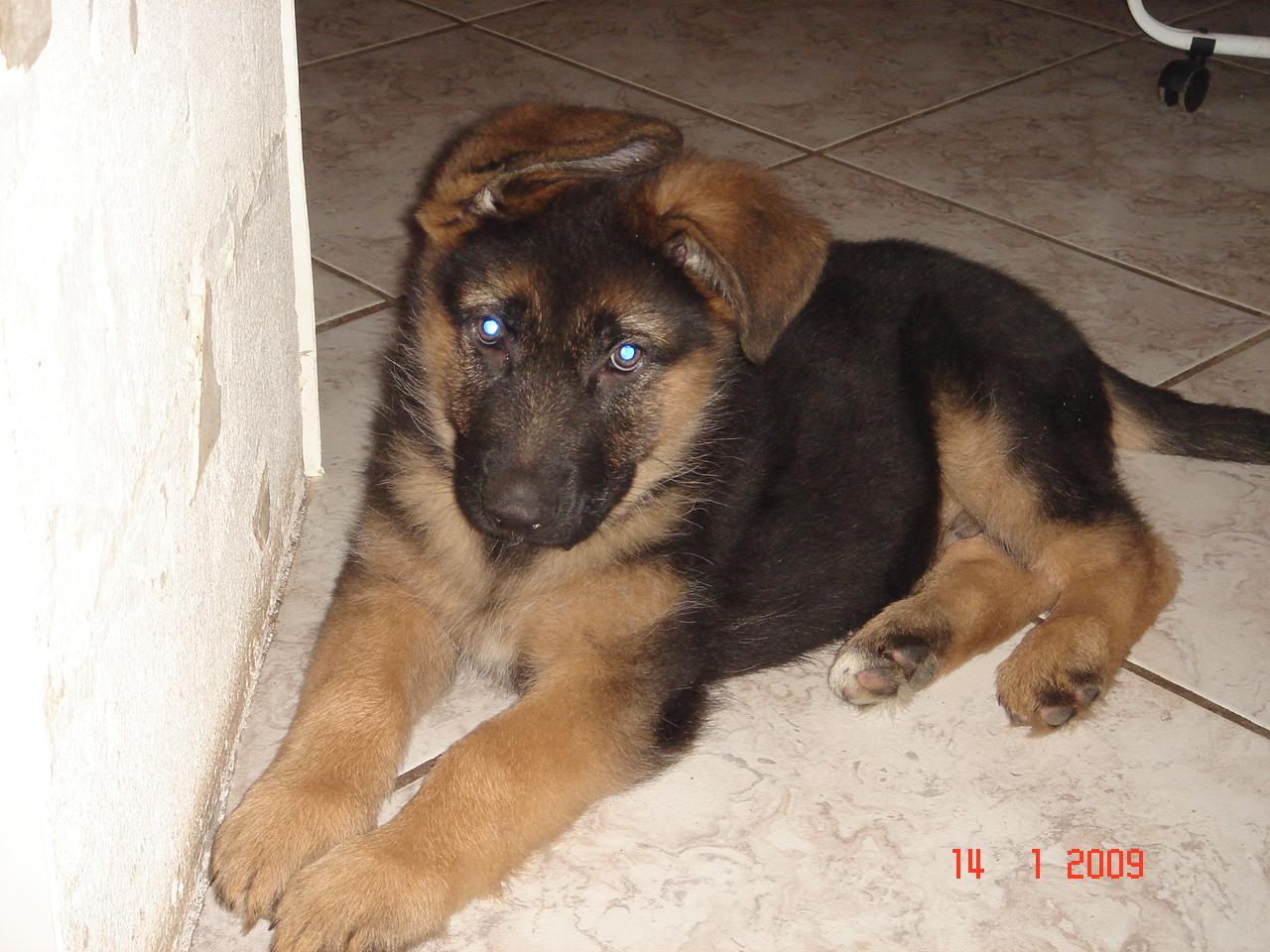 Recherche bebe chien gratuit chien bonheur - Berger allemand gratuit ...