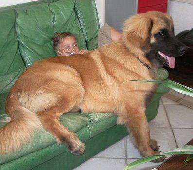 chiot leonberg a donner chien bonheur. Black Bedroom Furniture Sets. Home Design Ideas