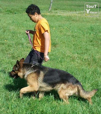 Chiot berger allemand a donner gratis chien bonheur - Berger allemand gratuit ...