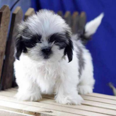 petit chien a donner gratuit ici chien bonheur. Black Bedroom Furniture Sets. Home Design Ideas