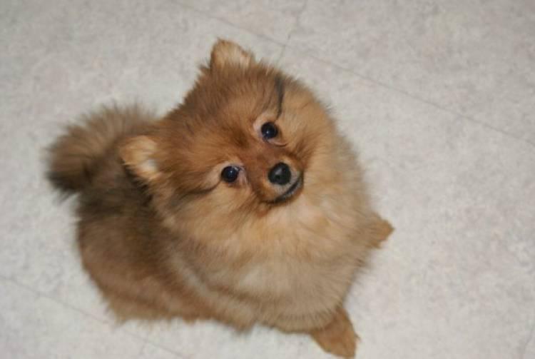 chien petite taille a vendre chien bonheur. Black Bedroom Furniture Sets. Home Design Ideas