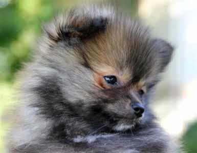 Chien husky nain – Chien bonheur