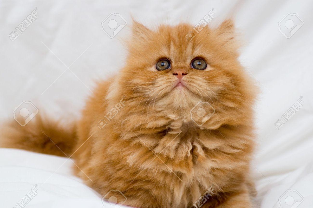 Chaton persan chien bonheur - Chaton persan gratuit ...