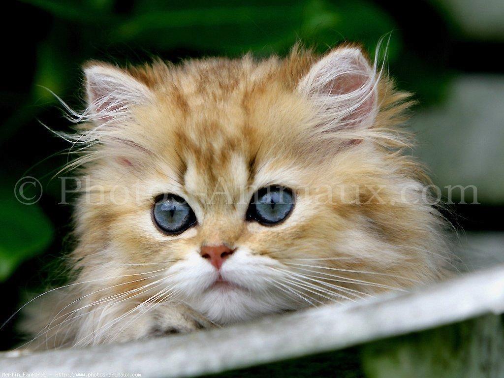 Chat persan gratuit chien bonheur - Chats gratuits ...