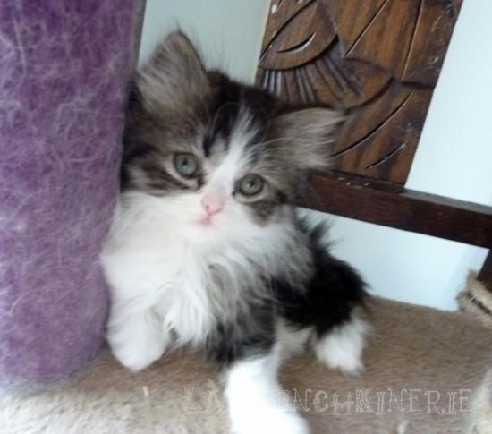 chaton nain a vendre chien bonheur. Black Bedroom Furniture Sets. Home Design Ideas