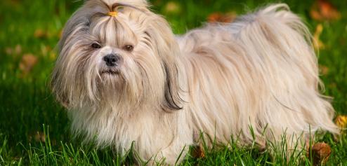 Race de chien petite taille poil long chien bonheur - Tonnelle petite taille ...